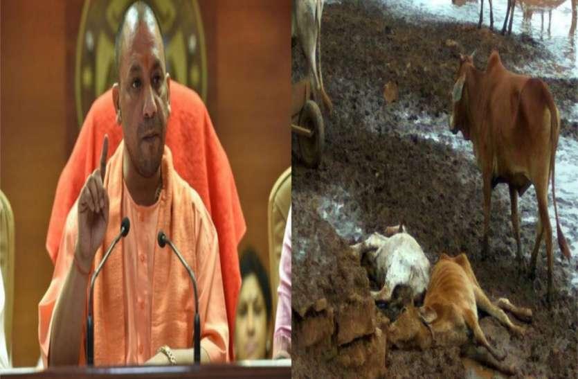 मवेशियों की हिफाजत के लिए 600 करोड़ का बजट, फिर भी हर रोज मर रही हैं गायें, चारे का नहीं कोई इंतजाम
