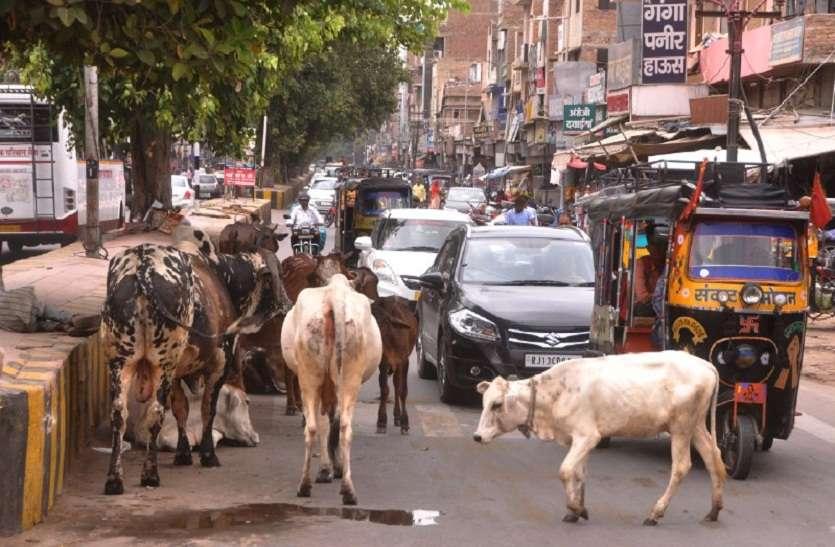 निराश्रित पशुओं से थम जाता है श्रीगंगानगर का ट्रैफिक
