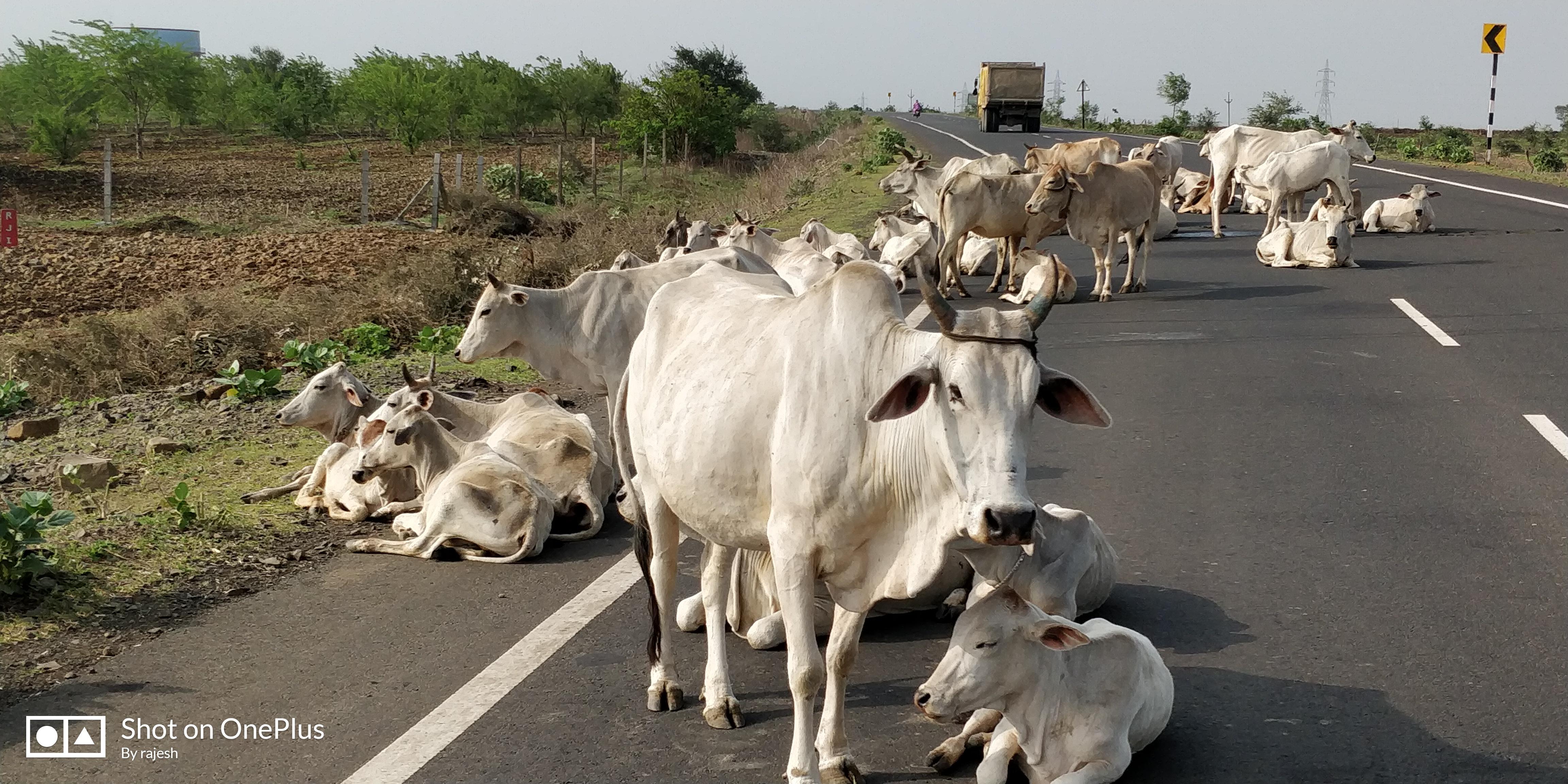 खेतों में नुकसान न हो, भटकती गाय को भी मिले सहारा, इसलिए की वरिष्ठों ने पहल