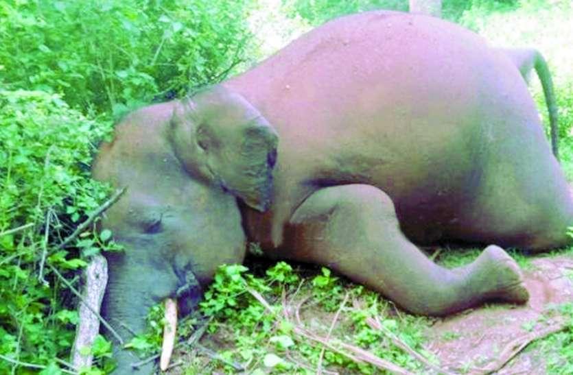 मादा हाथी का शव मिला