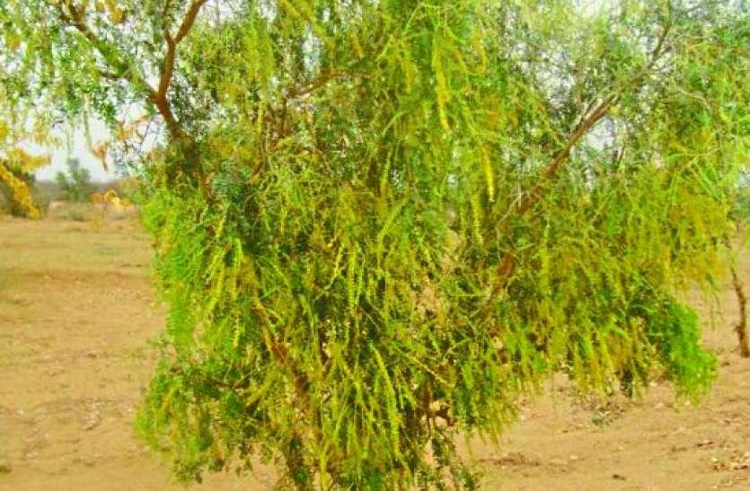 नन्हा राज्यवृक्ष अब खेतों से घर, राजस्थान से हरियाणा तक
