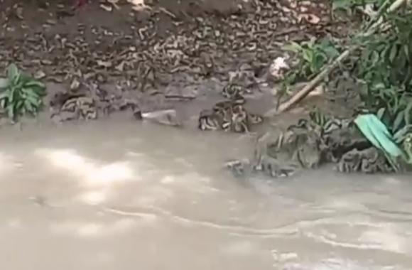 पानी पी रहे बंदर को अजगर ने बनाया अपना शिकार, शोर सुनकर आ गई बंदरों की फौज, फिर जो हुआ..., देखें वीडियो