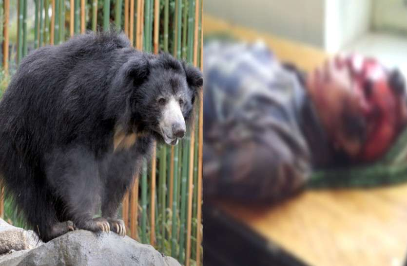 सिरोही: भालू से हुआ इस शख्स का सामना, फिर जो हुआ वो रौंगटे खड़े कर गया