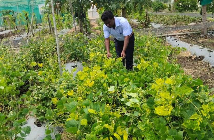 बारिश नहीं हुई तो फसलों पर कीट व वायरस का हो सकता है प्रभाव