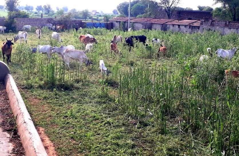 फुलवाड़ा गौशाला में किसानों का हंगामा, आवारा गौवंश को जबरन कराया प्रवेश