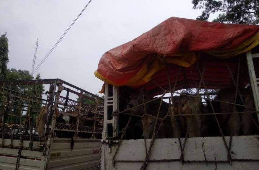 बैल बाजार की आड़ में हो रही पशु तस्करी
