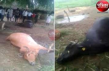 VIDEO : यहां आकाशीय बिजली गिरने से ग्रामीणों में मचा हडक़ंप, बेरे पर खड़ी गाय व भैंस की हुई मौत