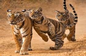 रणथम्भौर से कुछ बाघ शिफ्ट करने की तैयारी