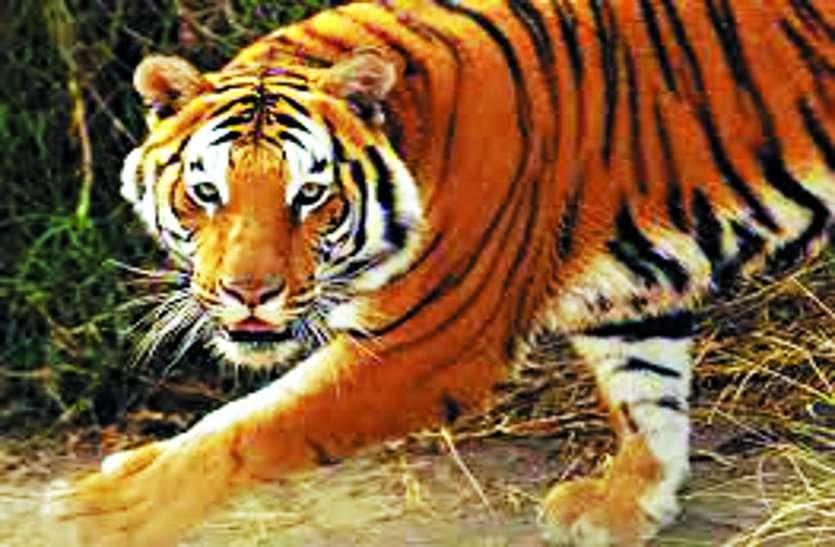 बाघिन दामिनी का पोस्टमार्टम आज,एक दूसरे का पसंद नहीं करते थे बाघ बाघिन।