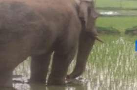 जंगली हाथियों का आतंक, धान की फसल की बर्बाद, देखें वीडियो