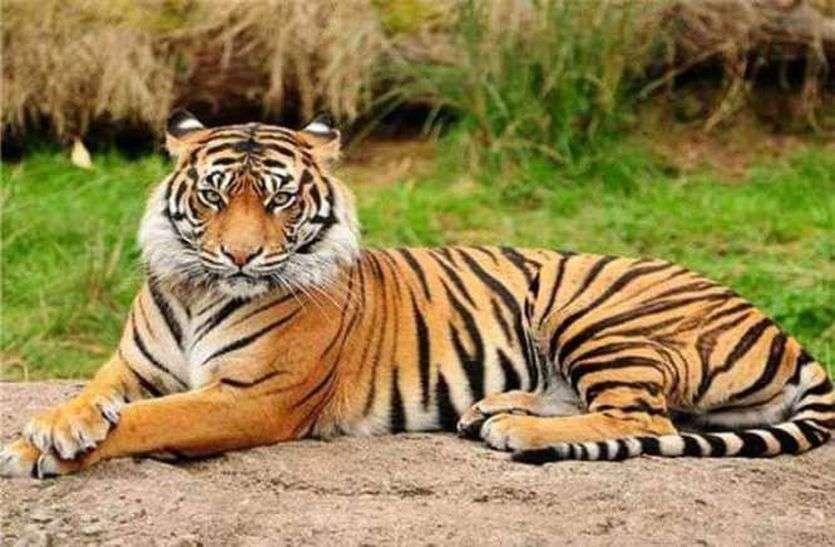 मप्र : अवैध शिकार के कारण सबसे ज्यादा बाघ मरे
