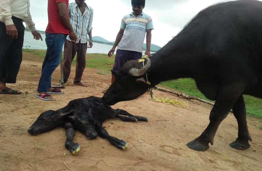 Two faces calf born