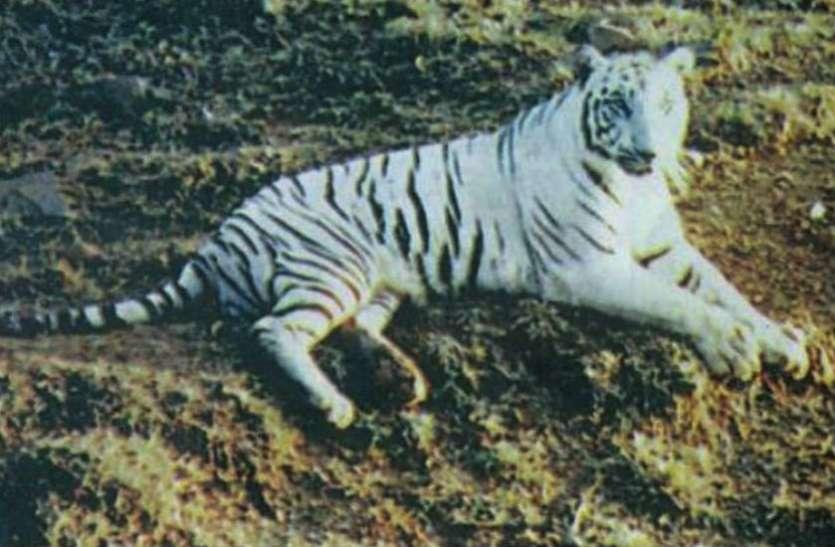 रविवार को मांस नहीं खाता था ये बाघ, महाराजा के साथ खेलता था फुटबॉल