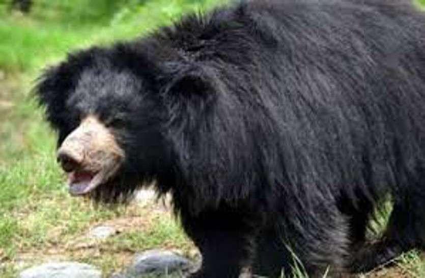 Chhattisgarh Bear Attack