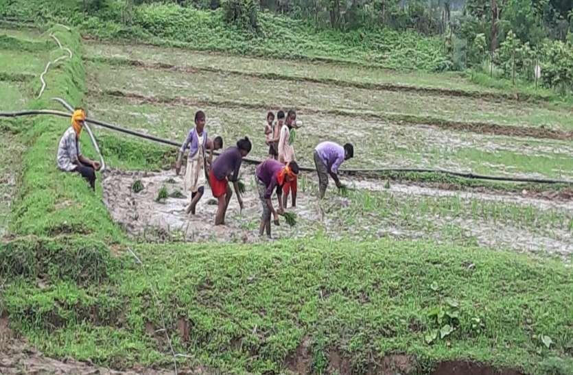 बारिश ने बिगाड़ा खेती का गणित, 44 फीसदी कम धान की बोवनी