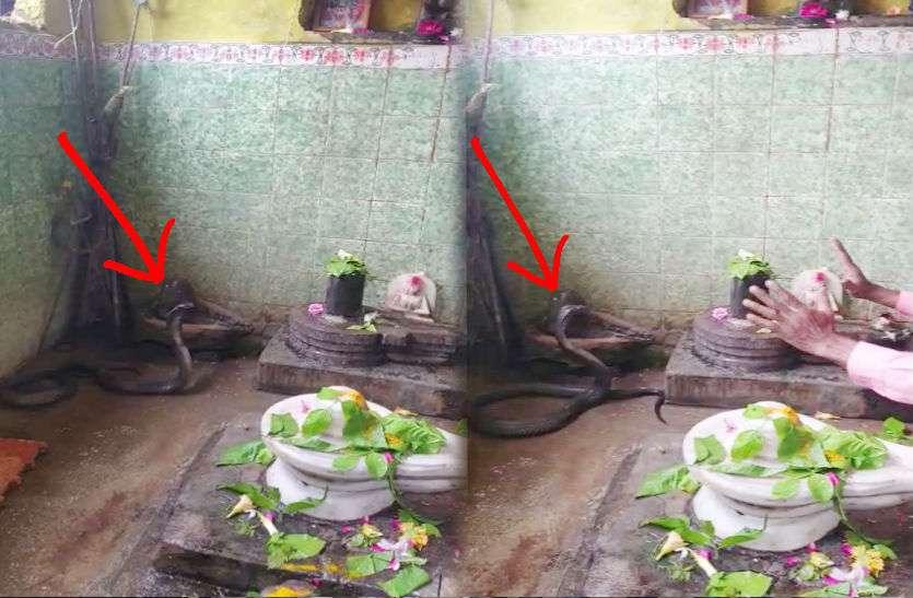 Sawan: मंदिर में भगवान शिव की भक्ति में लीन था नाग, पुजारी के आने के बाद भी फन उठाए डटा रहा