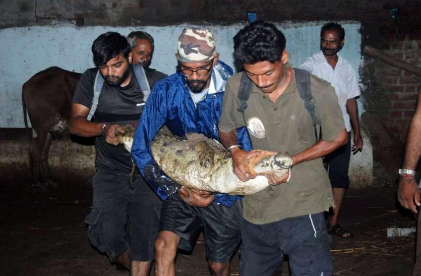 Crocodile in Vadodara city विश्वामित्री के मगरमच्छ बन सकते हैं बड़ा खतरा