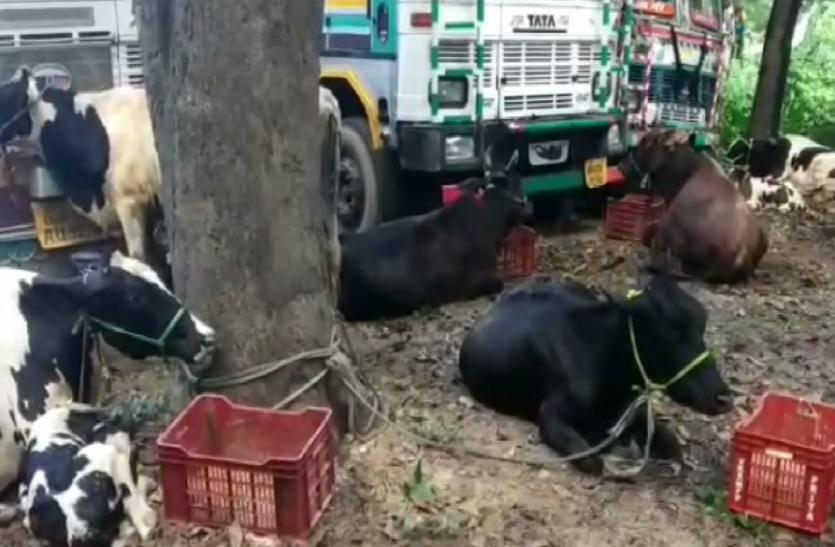 पशुओं से भरी ट्रक के साथ पशु तस्कर गिरफ्तार