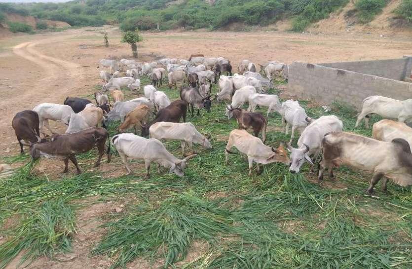 कच्छ में बारिश बिनापशुपालन व किसान परेशान