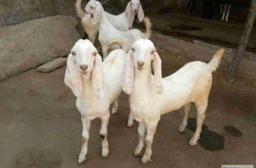 Eid-ul-Azha पर 211 किलो के बकरे की लगी बोली, कीमत 8 लाख, राजधानी में बिके 22 लाख के बकरे