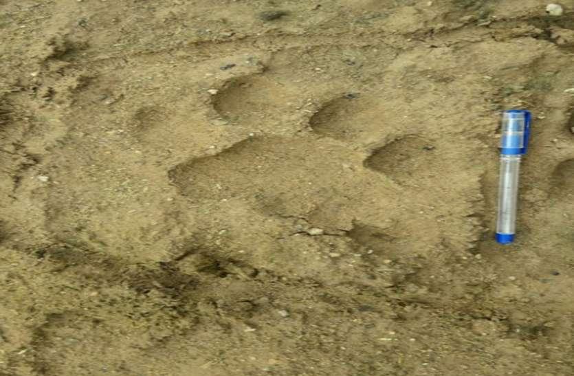 टाइगर का रुख धौलपुर-करौली बॉर्डर की ओर, मिले पगमार्क, दहशत में ग्रामीण