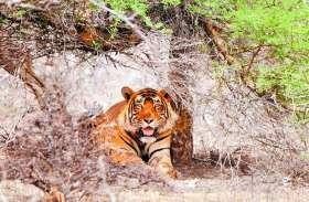 good news . पर्यटकों का नया ठिकाना बनेगा कोटा का मुकुंदरा हिल्स टाइगर रिजर्व