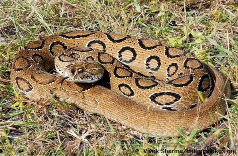 Russel viper
