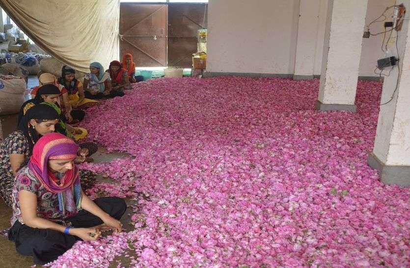 प्रदेश में गुलाब (Rose)की खेती ला सकती है खुशहाली (prosperity)