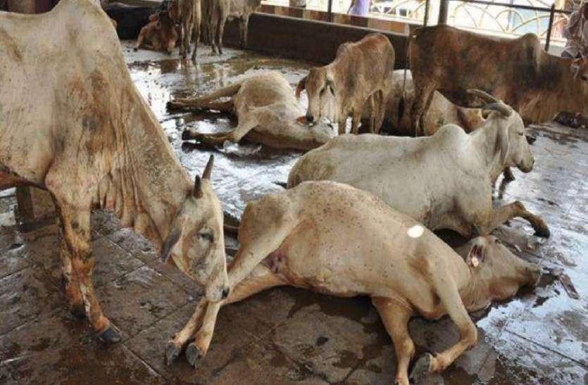 Andhra Pradesh: विजयवाड़ा में जहरीले चारे से 100 गायों की मौत