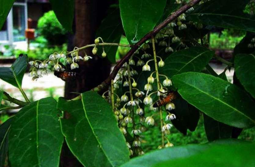 भगवान शिव के आंसू की बूंदों से हुई इस वृक्ष की उत्पत्ति