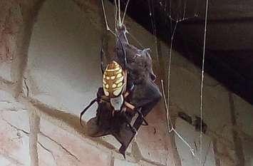 मकड़ी के जाल में फंसा चमगादड़, वीडियो में देखें कौन जीता मौत की जंग