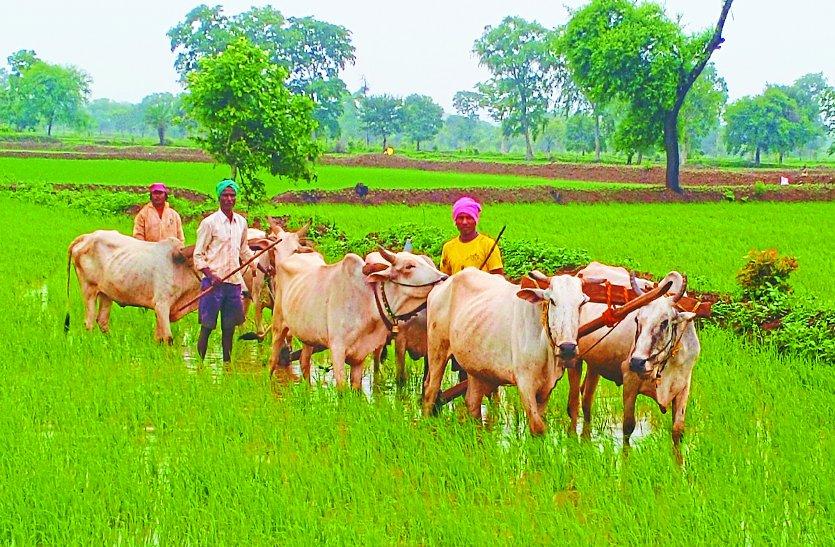 जाते सावन ने किसानों को किया खुश, बियासी के लिए खेतों में पर्याप्त पानी