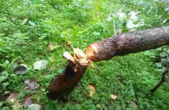 जंगल में हरियाली पर चली कुल्हाड़ी
