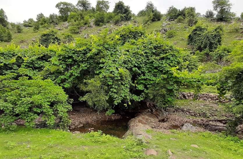 25 हजार पौधों वाले दो उद्यान हरे-भरे, बेक द्री की भेंट चढ़ा बाकी प्लांटेशन