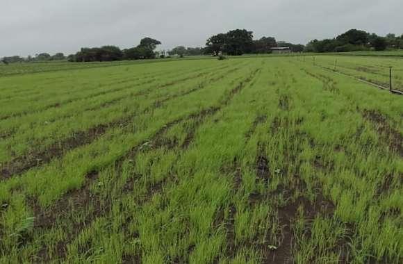 जांजगीर में अब तक सिर्फ इतनी बारिश, सावन भी नहीं ला सका किसानों के चेहरे पर बहार यही हाल रहा तो होगी मुश्किल