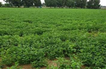 आखिर क्यों यहां खेतों में नमक डाल रहे किसान, पढ़ें पूरी खबर...