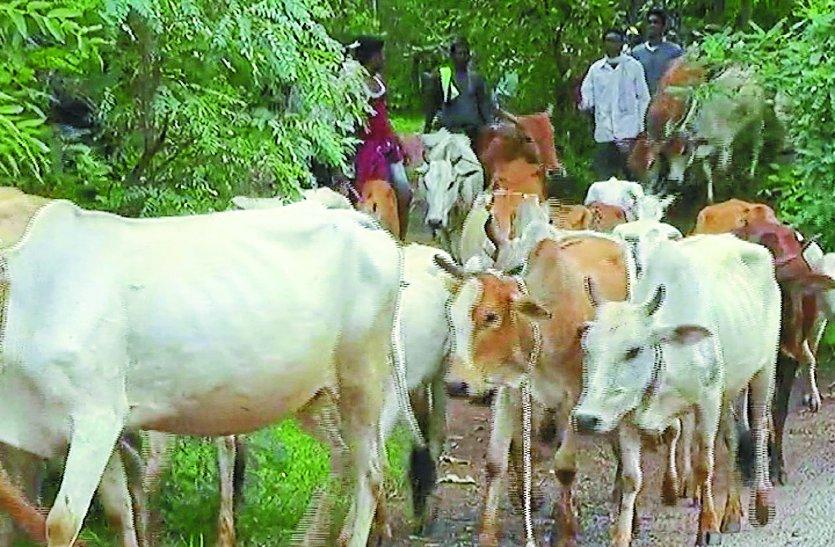 सरकार की योजना का नहीं मिल रहा लाभ, फसल बचाने आवारा मवेशियों को जंगल में छोड़ रहे ग्रामीण