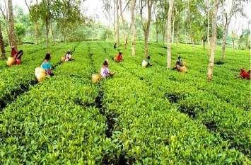 ये चाय बड़ी है खास, दाम भी 75 हजार रुपए के पास