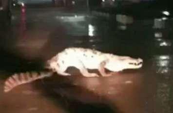 Live video: कोटा में देर रात सड़क पर दौड़ता रहा 6 फीट लंबा मगरमच्छ, वाहन चालकों में मची अफरा-तफरी