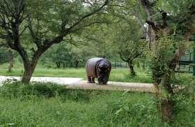 हर दिन 5 किलो केले, 20 किलो चोकर और 40 किलो कुटटी है दरियाई घोडे की डाइट