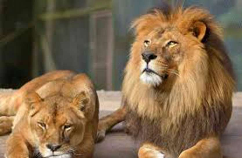 गुजरात के गिर से शेर लाने की रणनीति तय करेगा वाइल्ड लाइफ बोर्ड