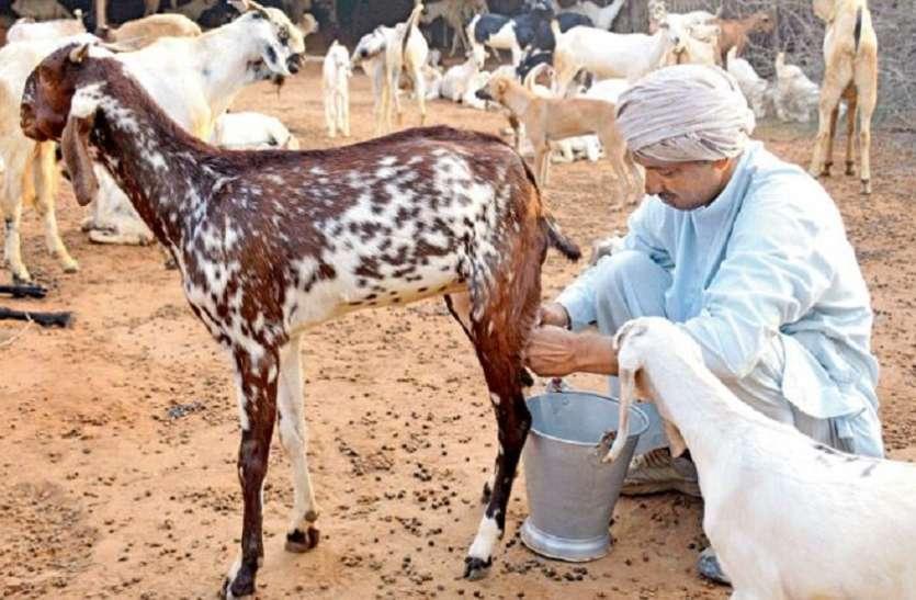 बकरी के दूध के हैं ये 10 फायदे, पीने का तरीका बनाता है इसे सबसे अलग