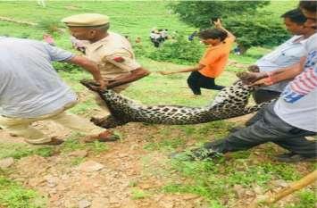 उदयपुर में ट्रेंकुलाइज किए पैंथर की हुई मौत, इसी पैंथर ने किए थे शिकार या ये कोई और.. बना रहस्य