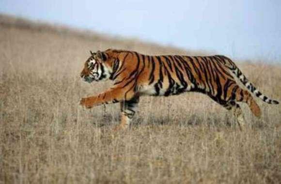 पीलीभीत के  डयूनी डैम  में बाघ का सड़ा गला शव मिलने से हड़कंप