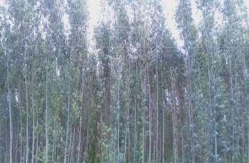 यूकेलिप्टस के पेड़ों से भूगर्भ जलस्तर पर मंडराया खतरा