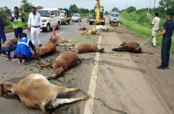 ट्रक चालक ने बेजुबान मवेशियों को बेरहमी से रौंदा, 11 गायों की मौत, तीन घायल