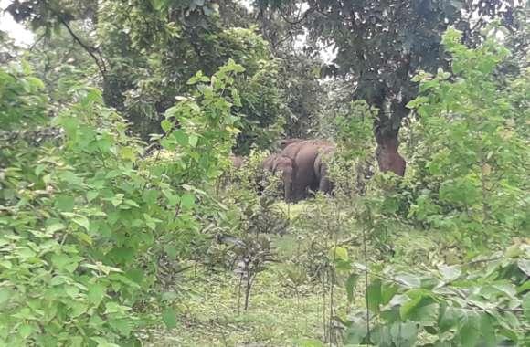 हाथियों के झुंड को जंगल की ओर जाते देख रहे थे ग्रामीण, इतने में पीछे से आ गया दंतैल, फिर जानिए क्या हुआ...