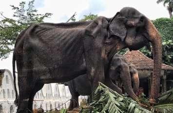 श्रीलंका में 70 साल के हाथी को नहीं मिला है अभी तक रिटायरमेंट, इस हालत में भी कराया जा रहा है काम