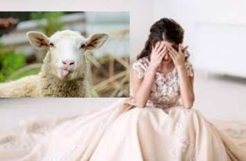 ससुर थाने पहुंच बोला, उसे बहू नहीं 71 भेड़ चाहिए, पुलिस दिलाए