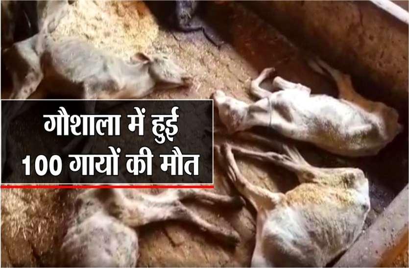 गायों की मौत से मचा हड़कंप, कारण सामने आया तो प्रशासन भी रह गया हैरान , देखें वीडियो